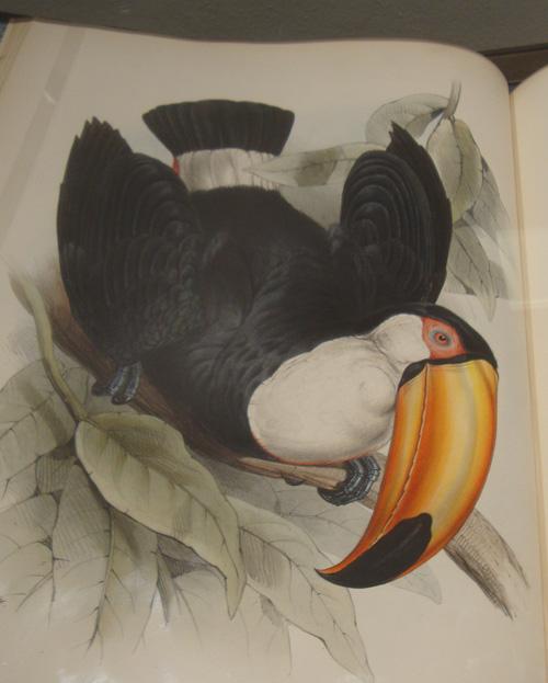 edward lear toucan